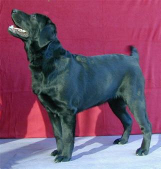 He fathers was a top Labrador 3 years USA: CH Tabatha's Gingerbred Cutter CGC, JH, CD
